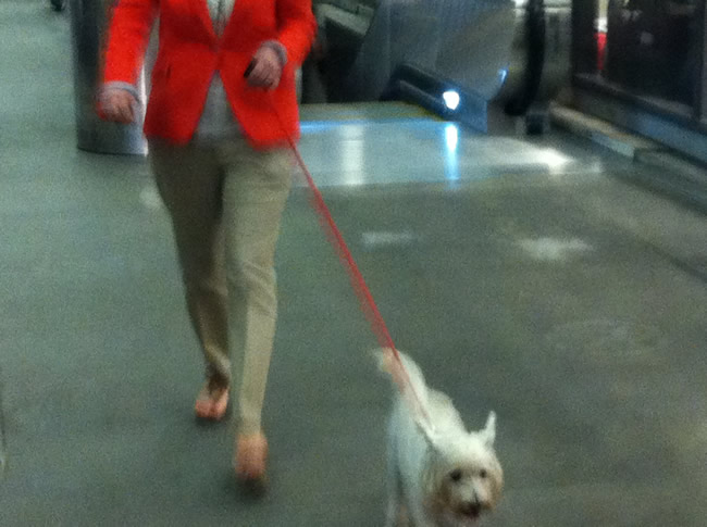 Image of Sparky, our dog, being walked before boarding a domestic flight in LAX