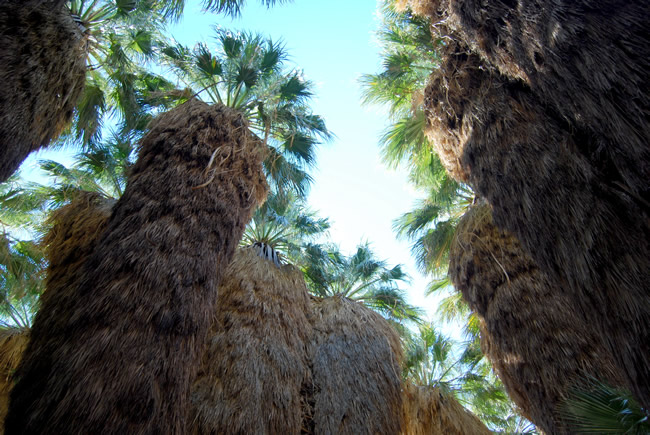 Soaring Washingtonia filifera palms with dead fronds adding to the natural appeal