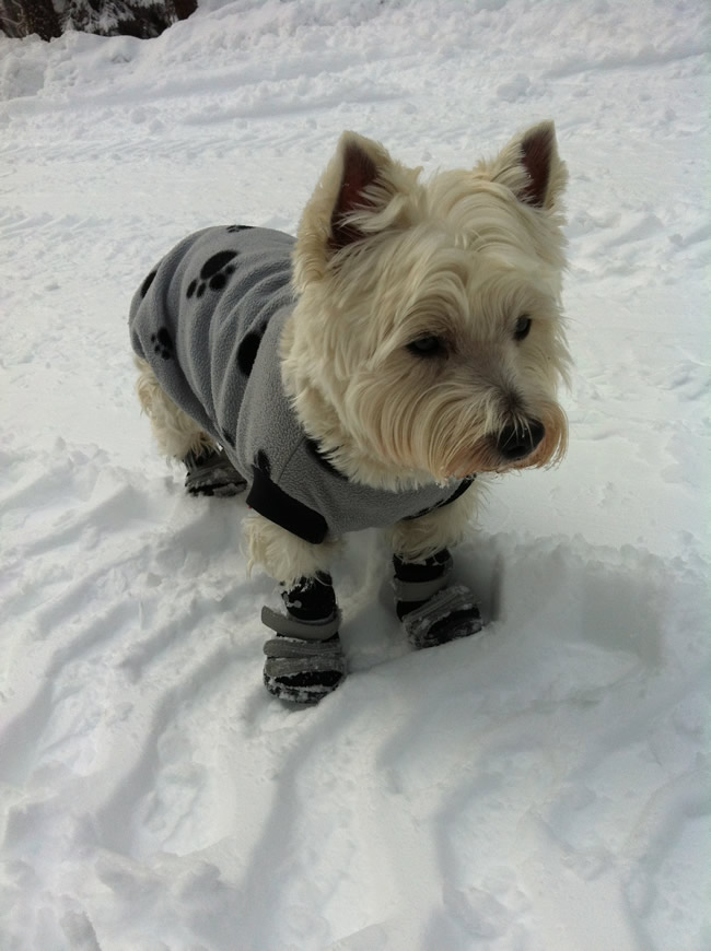 Image of our dog Sparky the westie in the snow with a warm overcoat and shoes. Keeps him safe from frostbite on his paws